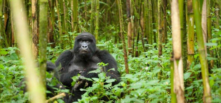 Gorilla Trekking: Uganda or Rwanda?